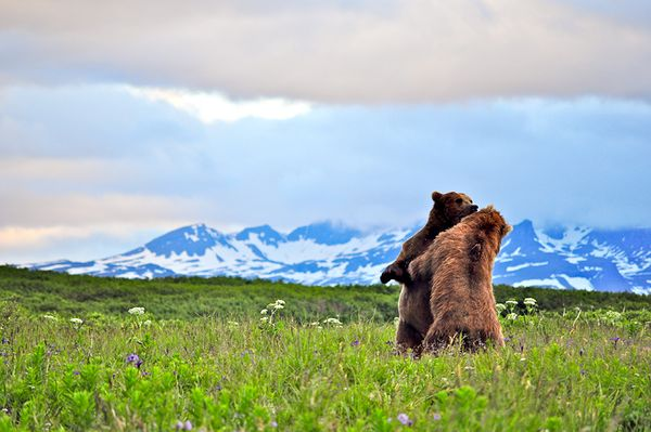 grizzly-bears-wrestling_29868_600x450