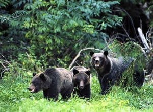 img_tour_2012_grizzly_bears_02