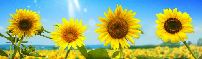 various-yellow-sunflowers-website-header