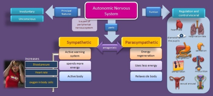 diagram-autonomic-nervous_med_hr