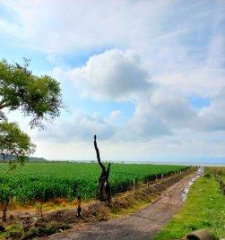 A cornfield along the lake