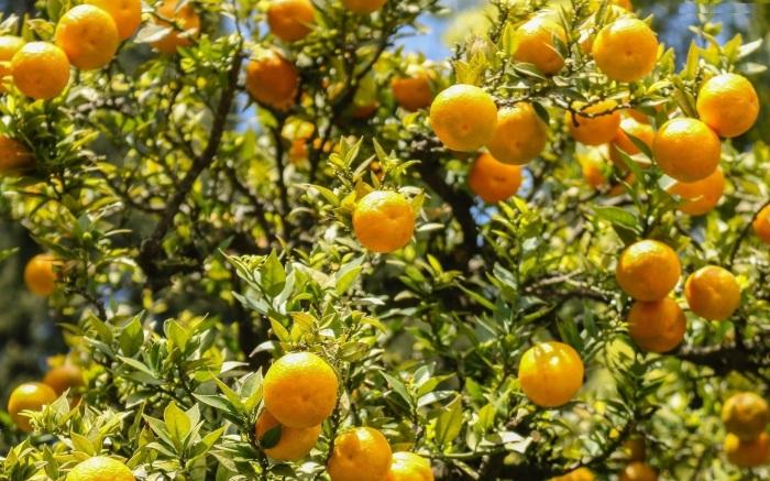 beautiful-nature-orange-tree-image-hd-desktop-wallpaper-background-free-hd-wallpaper-cool-download-wallpaper-1920x1200