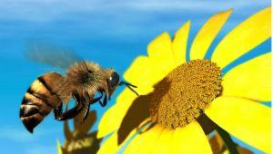 honey-bee-fly-flower-fight-daisy-wings-photo