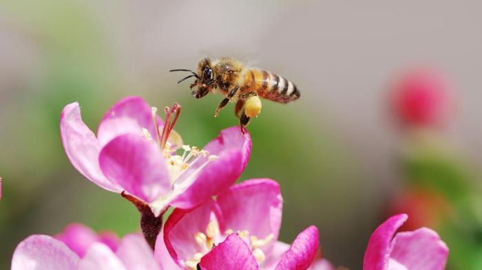 honeybee-pink-flower.ngsversion.1473419912581.adapt.1900.1