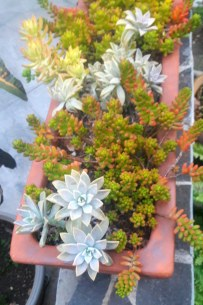 Succulent colony