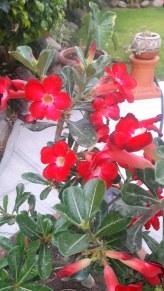 Desert Flower water 2 a week
