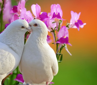 13003427-two-loving-white-doves-and-butterfly-orchid-flower