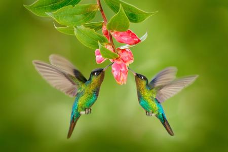 92948023-two-hummingbird-bird-with-pink-flower-hummingbirds-fiery-throated-hummingbird-flying-next-to-beautif